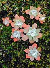Sedum, Mosses and Lichens #1 (J.G. in S.F.) Tags: succulent crassulaceae stinsonbeach sedum sedumspathulifolium marincountycalifornia mossesandlichens cactisucculentsbulbplants