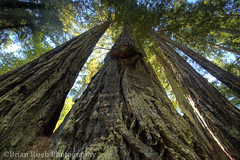 Redwoods (chaybert (Brian Rueb)) Tags: trees nature outdoors hiking tall treescape oldgrowth redwoodsnationalpark brianruebphotography