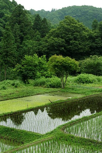 shinobara: rice paddy