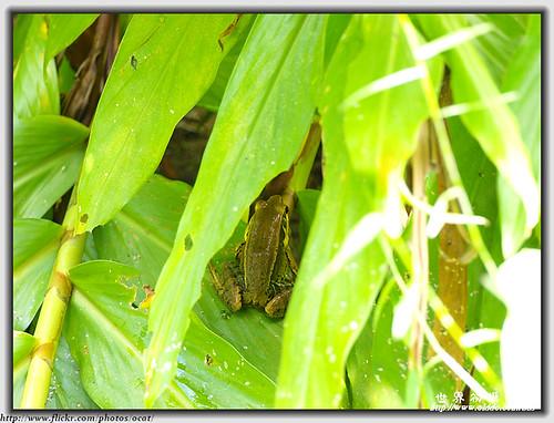 貢德氏赤蛙