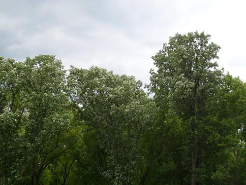 Upper Arb Oaks