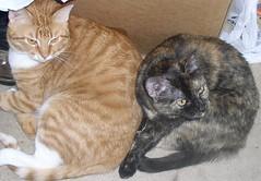 Chloe and Ethan (PaperBouquet of Mars) Tags: orange cats cat tabby kitty chloe ethan kitties tortoiseshellcat tortie orangetabby brotherandsister littermates kissablekat