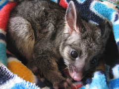George2 (Ali Nisbett) Tags: possum animals wildlife pouch marsupial marsupials possums australiananimals australianwildlife brushtail babypossum australiannativeanimals nativeanimals brushtailpossum nativewildlife australiannativewildlife wildlifevictoria wildlifecare babypossums brushtailpossums babybrushtailpossum