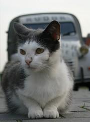 Frans, our cat (CitroenAZU) Tags: car animal cat kat chat dof citroen 2cv poes eend besteleend 2pk deuche ak350 fourgonette