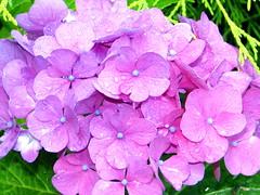 Hortensie (Martin Volpert) Tags: flower fleur flor pflanze blumen blomma hydrangea blume fiore blüte blomst garten virág lore bloem blüten blóm çiçek floro kwiat flos ciuri hortensien kvet kukka cvijet hydrangeaceae saxifragaceae flouer bláth cvet zieds õis gartenblume floare blome žiedas gartenhortensie mavo43