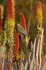Speckled Mousebird on Aloe petricola flowers (Martin_Heigan) Tags: camera flower bird nature digital southafrica succulent aloe nikon dof close martin bokeh photograph d200 dslr speckled colius mousebird striatus suidafrika petricola nikonstunninggallery heigan abigfave 70300mmf4556gvr aalwyn wsnbg mhsetbirds mhsetaloes mhsetflowers 26july2008 muisvoel