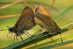 Thymelicus sylvestris (Walwyn) Tags: butterfly insect lepidoptera livejournal warwickshire thymelicussylvestris walwyn aplusphoto draycotemeadows profmoriartydotcom:book=745