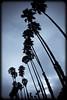 Palm trees (manganite) Tags: california park blue trees summer sky plants usa sun beach nature topf25 monochrome santabarbara clouds strand digital america dark geotagged nikon seasons cloudy tl framed perspective silhouettes playa monotone palm d200 nikkor dslr toned vignette goleta selenium 18200mmf3556 utatafeature manganite nikonstunninggallery aplusphoto repost1 date:year=2008 date:month=july date:day=23 geo:lat=34417372 geo:lon=119831228 format:ratio=32 repost2