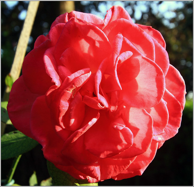flowers flores rose jardin rosa belleza lolitalempicka