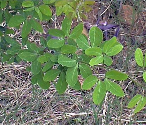 金龜樹的葉