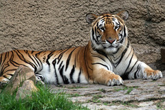 Bengal Tiger (Lori Putman) Tags: zoo tiger bigcat memphiszoo memphistn kumari bengaltiger ef70300mmf456isusm canoneosdigitalrebelxti zoosofnorthamerica