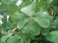The four-leaf clover... (chat&laine) Tags: flower green fleur vert fourleafclover trfle4feuilles