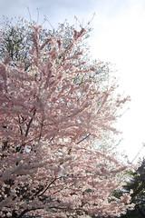 2008 NYC ~ Central Park (ozlllem) Tags: pink ny newyork spring centralpark bahar pembe fotografca fotorafkraathanesi
