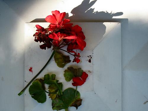 Dead Geranium
