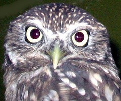 NZ 'Morepork' - owl (Mary Faith.) Tags: wild macro bird art nature night zoo design eyes nocturnal hamilton flight feathers parrot caged nz owl morepork fiatlux thewonderfulworldofbirds