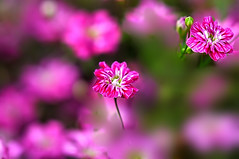 Pretty tiny flowers (naruo0720) Tags: plant flower macro nature closeup nikon bokeh soe d300 naturesfinest supershot abigfave platinumphoto theunforgettablepictures alemdagqualityonlyclub flickrlovers