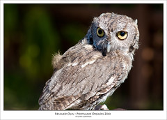 Rescued Owl (_cormackc) Tags: bird zoo nikon owl d300 85mmf14 wwwchriscormackcom