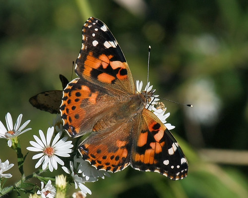 Painted Lady -being picked on by a pearl crescent!