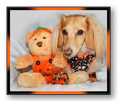 Teddy and Honey (Doxieone) Tags: bear orange dog black cute english fall halloween toy doll long teddy cream dachshund honey blonde 2008 haired 31 coll longhaired honeydog englishcream honeyset halloweenfall2008set