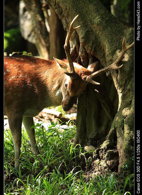 梅花鹿_Formasan Sika Deer_04