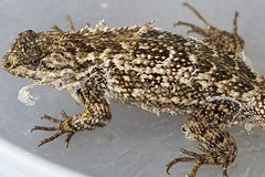 Shedding Western Fence Lizard (Sceloporus occidentalis)