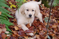 Tommy (glass86) Tags: dog goldenretriever puppy puppies dogpuppies platinumphoto aplusphoto colourartaward flickrlovers