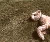 d u f f y (@jessewright) Tags: terrier 2008 camerabag wheaten iphone mcduff jessewright
