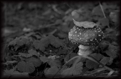 alice's mushroom