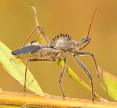 Wheel Bug (DrPhotoMoto) Tags: insect ariluscristatus supershot mywinners colorphotoaward aplusphoto ultimateshot familyreduviidae macromarvels excapturemacro rubyphotographer 37motowheelbug