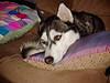 Pouty Anara (readmckay) Tags: california dog puppy puppies husky mckay siberian taft bakersfield anara bieyed ryanmckay