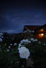 Storm Clouds White Rose (fischstarr) Tags: white storm flower lamp rose night clouds garden dark nikon warm safety porch 1855mm filters homely cokin gradnd 121s 121m d40x