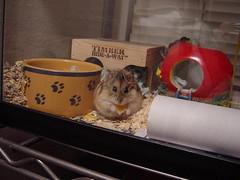 DSC02299 (nihontou) Tags: hamsters