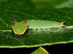 Charaxes jasius (diegocon1964) Tags: lepidoptera nymphalidae papilionoidea charaxes charaxinae charaxesjasius