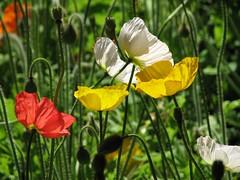 Australia, Melbourne: Colours of Spring (kool_skatkat) Tags: travel flower fleur flor blomma bunga  blume fiore blomst virg hoa bloem  kwiat  travelphotography kukka  cvijet  koolskatkat cvet gl kvtina kvetina floare   fjura