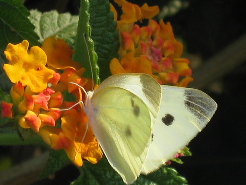 fleeting beauty- female cabbage white