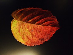 Shine on (Anniko 1996) Tags: november autumn fall leaves leaf laub herbst colored blatt 2008 coloured bunt fiatlux anniko abigfave colorphotoaward colourartaward artlegacy goldstaraward 100commentgroup