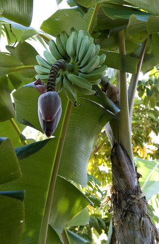 Image of a banana tree with fruits in a backyard