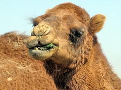 Camel by Serdar  Turkmen