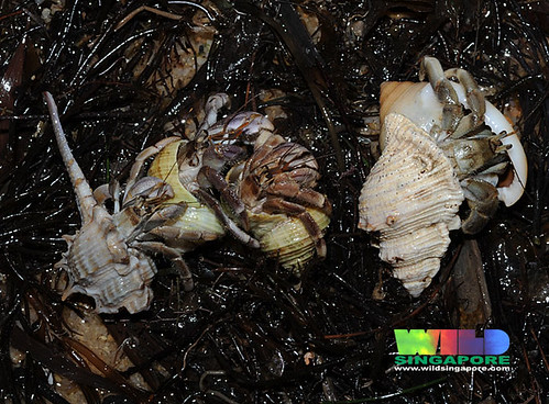 "Hermit crabs ""Big shell exchange"""
