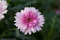 Flower (chαblet) Tags: flores méxico α100 chablet