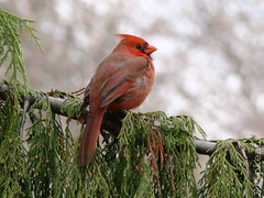 Songbird - Northern Cardinal (flipkeat) Tags: red male birds outdoors rojo cardinal wildlife awesome mississauga soe avian cardinaliscardinalis birdwatcher northerncardinal portcredit naturesfinest blueribbonwinner digitalcameraclub justonelook hbw wingedwonders abigfave cardinalrouge avianexcellence cardenalrojo goldstaraward cardenalcomn natureselegantshots rubyphotographer dsch50 cardenalnorteo 100commentgroup vosplusbellesphotos thewonderfulworldofbirds slbperched naturescreations hairygitselite