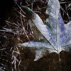 embraced by frost (Tanjica Perovic) Tags: winter cold texture photography frozen leaf maple frost fotograf photographer freezing explore  frozenleaf srpski fotografija   theunforgettablepictures goldstaraward hourofthesoul  tanjicaperovicphotography