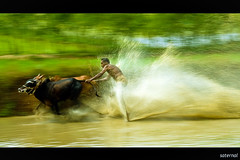 The man, The animal, The skill (saternal) Tags: travel india race kerala cart panning palakkad southindia mywinners ruralsports aplusphoto saternal chethali