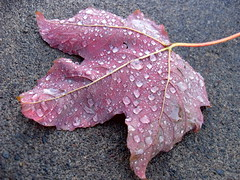 wet leaf (laughingoysterbabies popping in and out ~**) Tags: droplets leaf