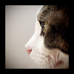 042710 (AgentThirteen) Tags: portrait pet eye cat fur kitten profile kitty whiskers 365 cornea