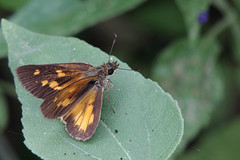 Broad-winged Skipper (PhotonFreak) Tags: broadwingedskipper