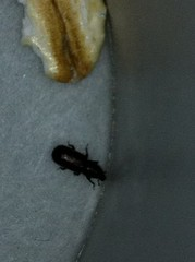 Pantry Pest - Confused Flour Beetle