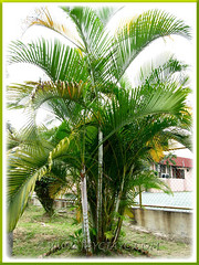 Dypsis lutescens (Yellow Butterfly Palm, Golden Yellow Palm, Yellow Bamboo Palm, Cane Palm, Areca Palm) as a landscape plant