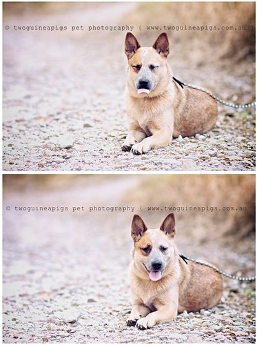 Cheeky girl Sheila the Australian Cattle Dog, photographed by twoguineapigs pet photography.