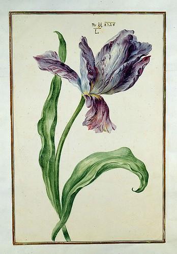 007-tulipan7-Karlsruher Tulpenbuch - Cod. KS Nische C 13- Badische LandesBibliotheK
